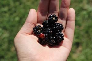 blackberries-1059777_1920